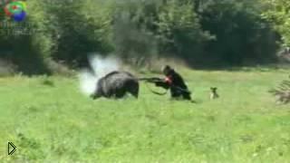 Кабан чуть не растерзал охотника - Видео онлайн