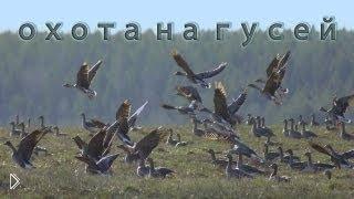 Смотреть онлайн Охота на дикого серого гуся