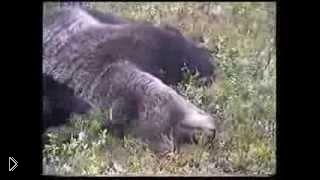 Смотреть онлайн Опасная охота на медведя с собакой