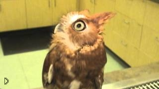 Смотреть онлайн Ушастая сова с большими глазами