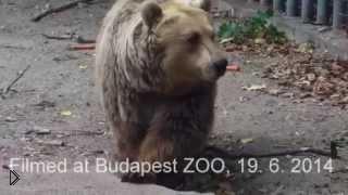 Смотреть онлайн Медведь подарил вороне вторую жизнь