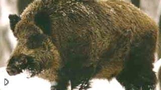 Смотреть онлайн Зимняя охота на кабана с лайками
