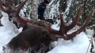Смотреть онлайн Охота зимой на лося в России с лайкой