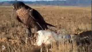 Смотреть онлайн Соколиная охота в России
