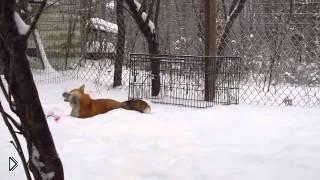 Смотреть онлайн Домашняя лиса и ее хозяин играются в снегу