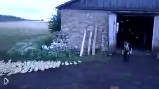 Смотреть онлайн Русский мужик загоняет гусей домой