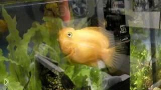 Можно ли надрессировать аквариумную рыбку - Видео онлайн