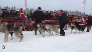 Смотреть онлайн Карельские гонки на собачьих упряжках 2014