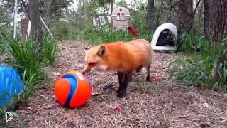 Смотреть онлайн У лисицы в зоопарке настоящий день рождения