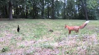 Смотреть онлайн Знакомство лисы с домашним котом