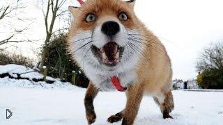 Смотреть онлайн Счастливая лиса очень рада встрече с человеком