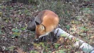 Смотреть онлайн Дикая лисица на природе не боится человека