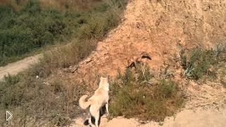 Смотреть онлайн Лиса прогоняет собаку с пляжа