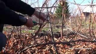 Смотреть онлайн Как на зиму обрезать и укрыть виноград однолетку
