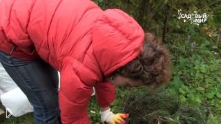 Смотреть онлайн Как сохранить розы зимой обрезать и укрыть