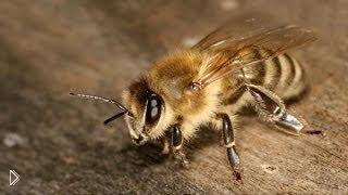 Смотреть онлайн Народное средство лечения простатита: укус пчел