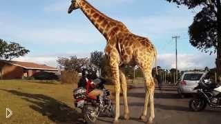 Смотреть онлайн Любвеобильного жирафа заинтересовал мотоцикл