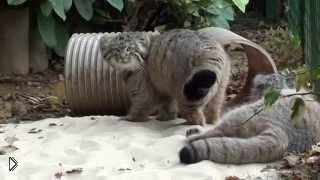 Смотреть онлайн Кошки манула играют на свежем воздухе
