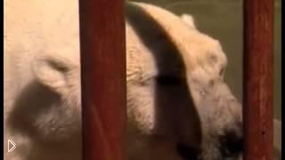 Смотреть онлайн Белый медведь поймал женщину и разгрыз ей ногу