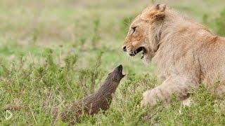 Смотреть онлайн Львы испугались маленького мангуста