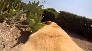 Съемка камеры на спине лабрадора - Видео онлайн