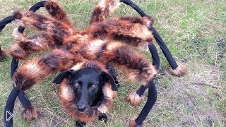 Смотреть онлайн Собака в костюме паука пугает людей