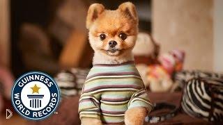 Смотреть онлайн Рекорд Гиннеса: пес дольше всех ходит на 2 лапах