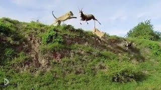 Смотреть онлайн Львицы на охоте: ловля антилопы