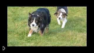 Смотреть онлайн Собаки колли охотятся друг на друга