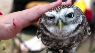 Смотреть онлайн Подборка: совы - самые милые и красивые птицы