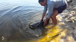 Смотреть онлайн Рыбак отпустил в реку огромного сома