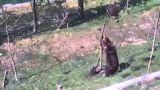 Смотреть онлайн Медведица сломала дерево чтобы спасти медвежонка