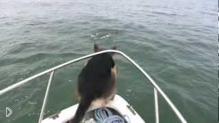 Смотреть онлайн Игривая овчарка прыгнула в воду за дельфинами