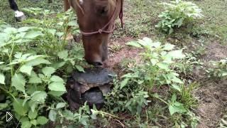 Смотреть онлайн Агрессивная черепаха напала на лошадь