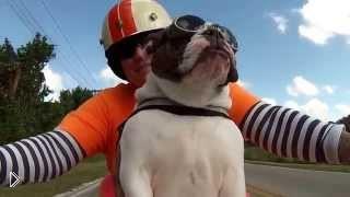 Смотреть онлайн Английский бульдог ездит на мотоцикле