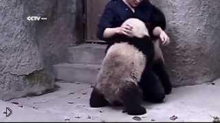 Смотреть онлайн Маленькие панды не хотят принимать лекарство