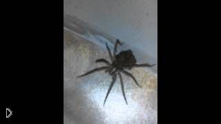 Смотреть онлайн Огромный паук носит на себе своих мелких детей