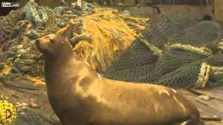 Смотреть онлайн Рыболовы поймали агрессивного морского льва