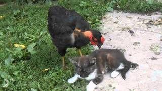 Смотреть онлайн Курица чистит котенка от блох