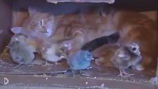 Смотреть онлайн Кошка взяла на воспитание крошечных цыплят
