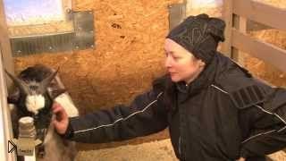 Смотреть онлайн Карликовые нигерийские козы для своего дома