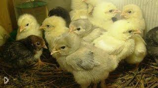 Смотреть онлайн Уход за цыплятами бройлера, рацион