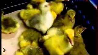 Смотреть онлайн Особенности разведения гусей