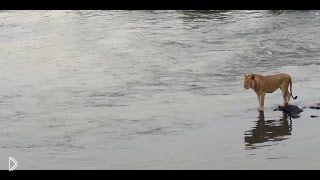 Смотреть онлайн Крокодил чуть не съел дикую кошку