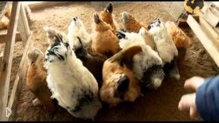 Все о болезнях кур: как уберечь домашних птиц - Видео онлайн