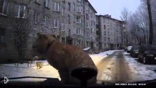 Смотреть онлайн Рыжий кот хорошо устроился на капоте автомобиля
