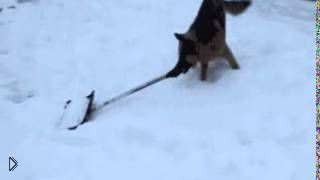 Смотреть онлайн Овчарка убирает снег лопатой