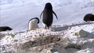 Смотреть онлайн Как пингвины хитрят ради самок