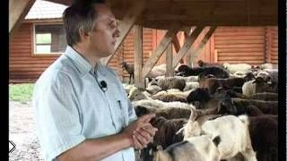 Смотреть онлайн Все об афганских курдючных овцах