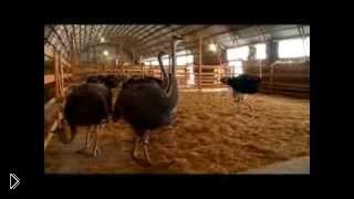 Смотреть онлайн Разведение страусов в домашних условиях